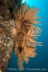 California golden gorgonian on rocky reef, underwater. The golden gorgonian is a filter-feeding temperate colonial species that lives on the rocky bottom at depths between 50 to 200 feet deep. Each individual polyp is a distinct animal, together they secrete calcium that forms the structure of the colony. Gorgonians are oriented at right angles to prevailing water currents to capture plankton drifting by, Muricea californica, San Clemente Island