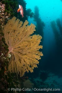 California golden gorgonian on underwater rocky reef below kelp forest, San Clemente Island. The golden gorgonian is a filter-feeding temperate colonial species that lives on the rocky bottom at depths between 50 to 200 feet deep. Each individual polyp is a distinct animal, together they secrete calcium that forms the structure of the colony. Gorgonians are oriented at right angles to prevailing water currents to capture plankton drifting by, San Clemente Island. The golden gorgonian is a filter-feeding temperate colonial species that lives on the rocky bottom at depths between 50 to 200 feet deep. Each individual polyp is a distinct animal, together they secrete calcium that forms the structure of the colony. Gorgonians are oriented at right angles to prevailing water currents to capture plankton drifting by. San Clemente Island, California, USA, Muricea californica, natural history stock photograph, photo id 30925
