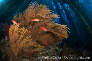 California golden gorgonian and small juvenile sheephead fishes on rocky reef, below kelp forest, underwater.  The golden gorgonian is a filter-feeding temperate colonial species that lives on the rocky bottom at depths between 50 to 200 feet deep.  Each individual polyp is a distinct animal, together they secrete calcium that forms the structure of the colony. Gorgonians are oriented at right angles to prevailing water currents to capture plankton drifting by, Muricea californica, Semicossyphus pulcher, San Clemente Island