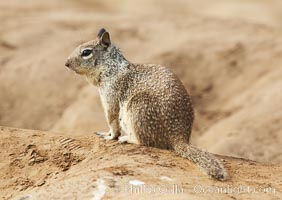 California ground squirrel, Spermophilus beecheyi, La Jolla