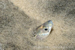 California grunion, Leuresthes tenuis, Carlsbad