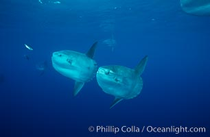 Ocean sunfish schooling, open ocean near San Diego. San Diego, California, USA, Mola mola, natural history stock photograph, photo id 03631