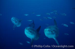 Ocean sunfish, open ocean near San Diego, Mola mola