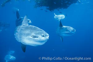 Ocean sunfish schooling near drift kelp, soliciting cleaner fishes, open ocean, Baja California., Mola mola, natural history stock photograph, photo id 06327