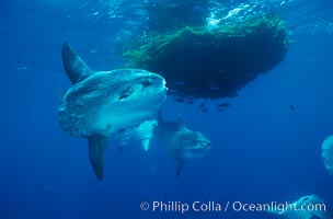 Ocean sunfish schooling near drift kelp, soliciting cleaner fishes, open ocean, Baja California., Mola mola, natural history stock photograph, photo id 06339