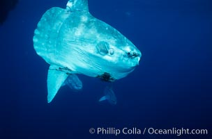 Ocean sunfish schooling near drift kelp, soliciting cleaner fishes to remove large group of parasitic copepods, open ocean, Baja California, Mola mola