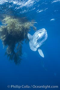 Ocean sunfish near drift kelp, soliciting cleaner fishes, open ocean, Baja California., Mola mola, natural history stock photograph, photo id 06377