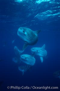 Ocean sunfish schooling near drift kelp, soliciting cleaner fishes, open ocean, Baja California., Mola mola, natural history stock photograph, photo id 06382