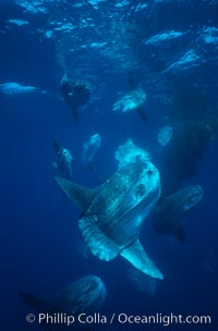 Ocean sunfish schooling near drift kelp, soliciting cleaner fishes, open ocean, Baja California., Mola mola, natural history stock photograph, photo id 06385