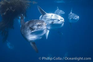 Ocean sunfish schooling near drift kelp, soliciting cleaner fishes, open ocean, Baja California., Mola mola, natural history stock photograph, photo id 06386