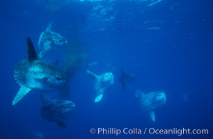 Ocean sunfish schooling near drift kelp, soliciting cleaner fishes, open ocean, Baja California., Mola mola, natural history stock photograph, photo id 06390