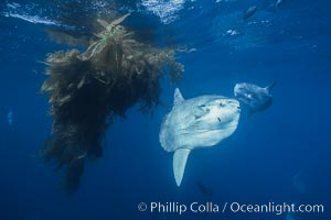 Ocean sunfish schooling near drift kelp, soliciting cleaner fishes, open ocean, Baja California., Mola mola, natural history stock photograph, photo id 06393