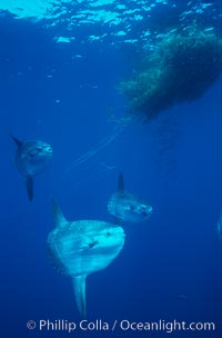 Ocean sunfish schooling near drift kelp, soliciting cleaner fishes, open ocean, Baja California., Mola mola, natural history stock photograph, photo id 06401