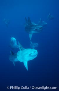Ocean sunfish schooling near drift kelp, soliciting cleaner fishes, open ocean, Baja California., Mola mola, natural history stock photograph, photo id 06403