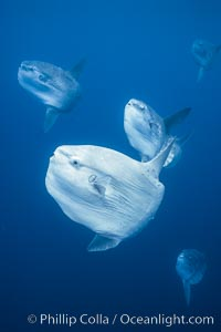 Ocean sunfish schooling near drift kelp, soliciting cleaner fishes, open ocean, Baja California., Mola mola, natural history stock photograph, photo id 06404