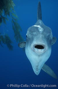 Ocean sunfish, open ocean, Baja California, Mola mola