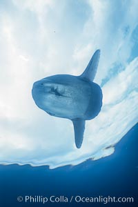 Ocean sunfish, basking at surface, open ocean, Baja California, Mola mola