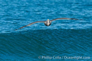 California Pelican flying on a wave, riding the updraft from the wave., Pelecanus occidentalis, Pelecanus occidentalis californicus, natural history stock photograph, photo id 30276
