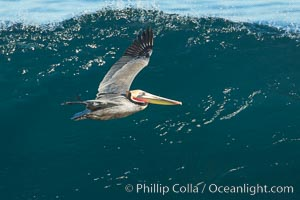 California Pelican flying on a wave, riding the updraft from the wave., Pelecanus occidentalis, Pelecanus occidentalis californicus, natural history stock photograph, photo id 30314