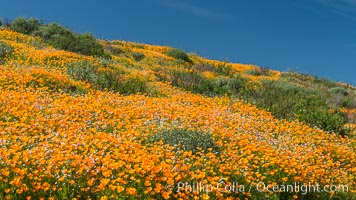 California Poppies, Diamond Valley Lake, Hemet. Hemet, California, USA, natural history stock photograph, photo id 33132