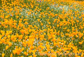 California Poppies, Elsinore. Elsinore, California, USA, natural history stock photograph, photo id 33116