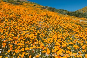 California Poppies, Elsinore