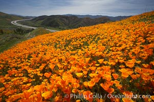 California poppies cover the hills in a brilliant springtime bloom. Elsinore, California, USA, Eschscholzia californica, Eschscholtzia californica, natural history stock photograph, photo id 20895