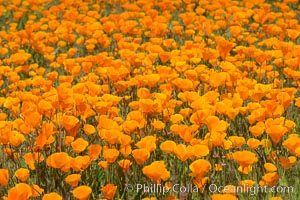 California Poppies, Rancho La Costa, Carlsbad. Rancho La Costa, Carlsbad, California, USA, natural history stock photograph, photo id 33119