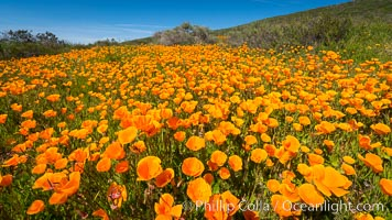 California Poppies, Rancho La Costa, Carlsbad. Rancho La Costa, Carlsbad, California, USA, natural history stock photograph, photo id 33122