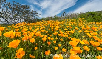 California Poppies, Rancho La Costa, Carlsbad. Rancho La Costa, Carlsbad, California, USA, natural history stock photograph, photo id 33129