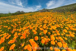 California Poppies, Rancho La Costa, Carlsbad. Rancho La Costa, Carlsbad, California, USA, natural history stock photograph, photo id 33131
