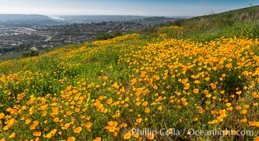 California Poppies, Rancho La Costa, Carlsbad