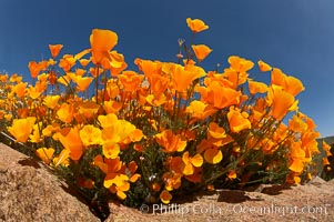 California poppies cover the hills in a brilliant springtime bloom. Elsinore, California, USA, Eschscholzia californica, Eschscholtzia californica, natural history stock photograph, photo id 20491