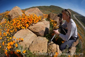 A photographer trains his camera on a bright orange bloom of California poppies, Eschscholzia californica, Eschscholtzia californica, Elsinore