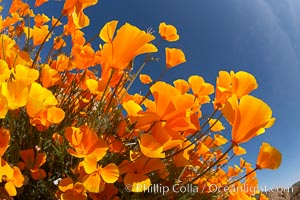 California poppy plants viewed from the perspective of a bug walking below the bright orange blooms. Elsinore, California, USA, Eschscholzia californica, Eschscholtzia californica, natural history stock photograph, photo id 20507
