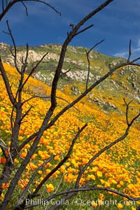 California poppies bloom in enormous fields cleared just a few months earlier by huge wildfires.  Burnt dead bushes are seen surrounded by bright poppies, Eschscholzia californica, Eschscholtzia californica, Del Dios, San Diego