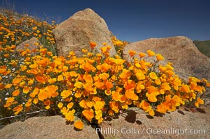 California poppies bloom amidst rock boulders, Eschscholzia californica, Eschscholtzia californica, Elsinore
