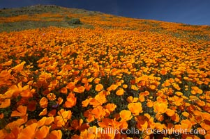 California poppies cover the hills in a brilliant springtime bloom. Elsinore, California, USA, Eschscholzia californica, Eschscholtzia californica, natural history stock photograph, photo id 20526