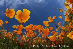 California poppy plants viewed from the perspective of a bug walking below the bright orange blooms. Del Dios, San Diego, California, USA, Eschscholzia californica, Eschscholtzia californica, natural history stock photograph, photo id 20539
