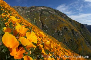 Image 20540, California poppies cover the hillsides in bright orange, just months after the area was devastated by wildfires. Del Dios, San Diego, California, USA, Eschscholzia californica, Eschscholtzia californica