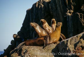 California sea lion, Sea of Cortez, Zalophus californianus