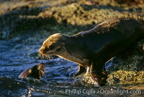 California sea lion, pup and female, Sea of Cortez, Zalophus californianus
