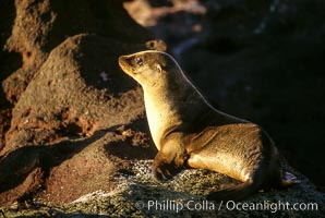 California sea lion, pup, Sea of Cortez, Zalophus californianus