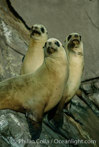California sea lions, Coronado Islands. Coronado Islands (Islas Coronado), Coronado Islands, Baja California, Mexico, Zalophus californianus, natural history stock photograph, photo id 02151