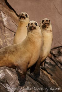 California sea lion, Coronado Islands. Coronado Islands (Islas Coronado), Coronado Islands, Baja California, Mexico, Zalophus californianus, natural history stock photograph, photo id 02920