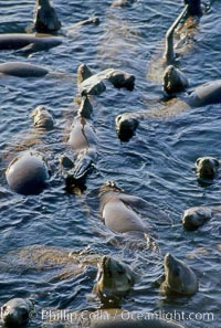 California sea lions, rafting/socializing/thermoregulating, Baja California, Zalophus californianus