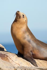 California sea lion, adult female. La Jolla, California, USA, Zalophus californianus, natural history stock photograph, photo id 18539