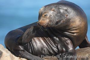 California sea lion, adult male. La Jolla, California, USA, Zalophus californianus, natural history stock photograph, photo id 18545