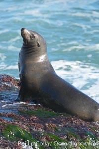 California sea lion, Zalophus californianus, La Jolla