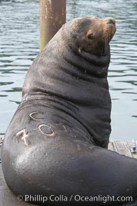 A bull sea lion shows a brand burned into its hide by the Oregon Department of Fish and Wildlife, to monitor it from season to season as it travels between California, Oregon and Washington.  Some California sea lions, such as this one C-704, prey upon migrating salmon that gather in the downstream waters and fish ladders of Bonneville Dam on the Columbia River.  The &#34;C&#34; in its brand denotes Columbia River. These  sea lions also form bachelor colonies that haul out on public docks in Astoria&#39;s East Mooring Basin and elsewhere, where they can damage or even sink docks, Zalophus californianus